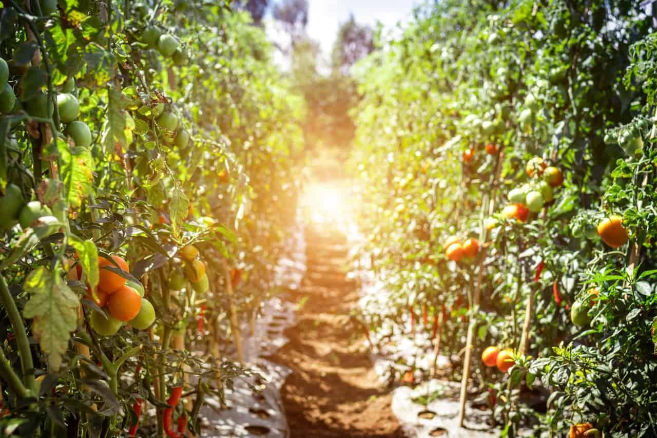 arrosage des plants de tomates