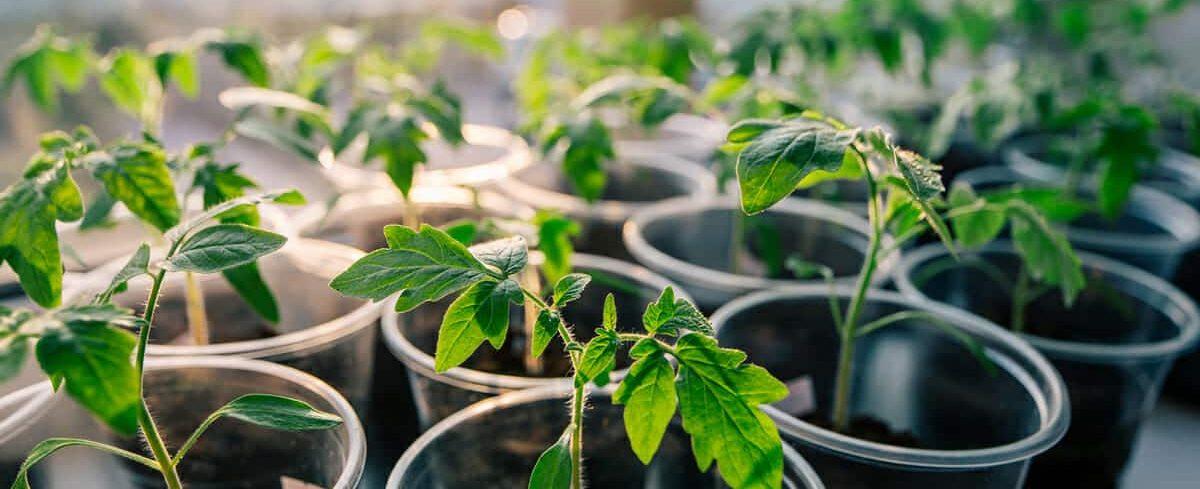 faire des semis de graines de tomates