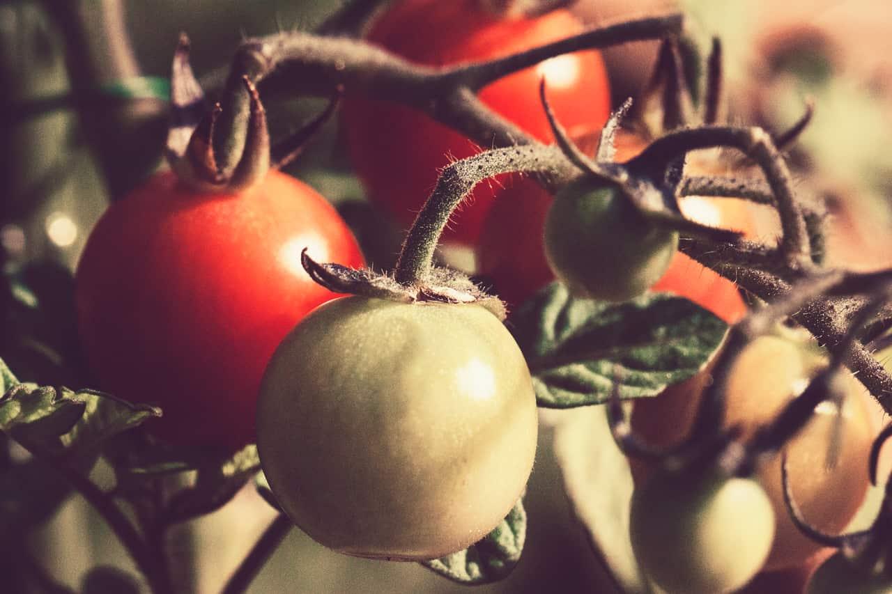 quelle-plante-associer-avec-les-tomates