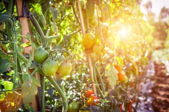 tuteur-pour-les-tomates