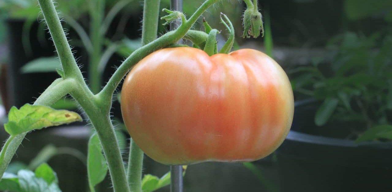 tuteurer les plants de tomates avec des tuteurs en acier