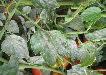 Mildiou tomates
