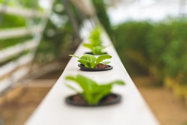 légumes en culture hydroponique